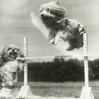 What Is a Dog Steeplechase?
