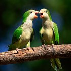 Aggression in Female Parakeets