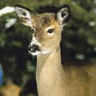 Deer eat bark up to seven feet off the ground when other food sources are unavailable.
