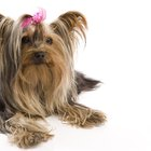 Long Hairstyles for Yorkie Hair