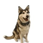 Grooming Ideas for Siberian Huskies