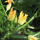 With optimal care, zucchini can be harvest-ready within 35 to 55 days.