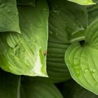 Hostas can have smooth or textured leaves.