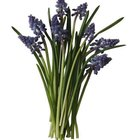 Grape hyacinths are fragrant bulb plants.