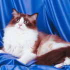 Types of Ragdoll Cats