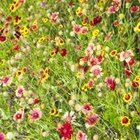 Every region of the United States has wildflowers that are native to that area.