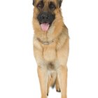 Hip Deformities in German Shepherds