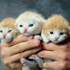 How Should a Premature Kitten Being Hand Raised Behave?
