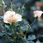 Grandiflora roses have large, fragrant flowers.