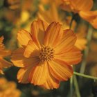 Cosmos grow from 2 to 7 feet tall.