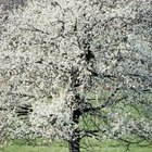 Dogwood trees have attractive blooms during the growing season.