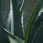 Aloe vera has been taken orally as a laxative.