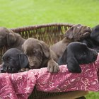 Can a Black Dog Have Chocolate Pups?
