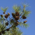 Longleaf pine needles are much longer than shortleaf pine needles.