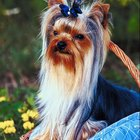 Topknot Hairstyles for Dogs