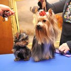 The Changes in a Yorkie's Coat