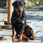 Fun Facts About the Rottweiler