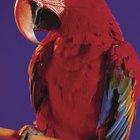 Does the Scent of a Candle Affect Pet Parrots?