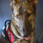 Service Dog Requirements in California