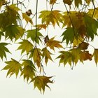 The colorful leaves of the Japanese Maple give any area a autumn look.