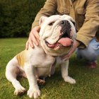 Anesthesia Side Effects in Bulldogs