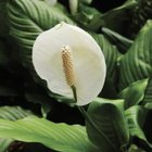 Peace lilies signal discomfort and disease with yellow leaves.