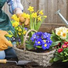 Planting primroses in a container gives you more control over the conditions they are exposed to.