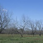 Space pecan trees to avoid overcrowding.