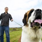 Separation Anxiety and Saint Bernards