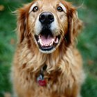 Adopting Senior Golden Retrievers