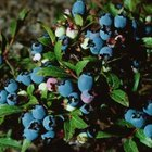 Blueberries grow on bushy shrubs.