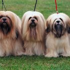 Common Health Problems in Young Lhasa Apso Dogs