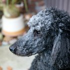 Ear Care for Standard Poodles