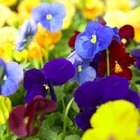 Colorful pansies will self-seed if you allow them to.