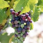 A tremendous diversity of grape varieties allow them to be grown in a wide range of environments.