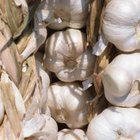 Garlic repels cabbage maggots and aphids.