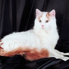 Tips About Turkish Van Cats