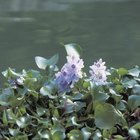 The water hyacinth produces a beautiful flower.