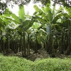 Bananas grow best in warm climates.