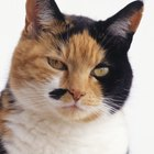 Calico Cats & Their Temperament