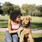Training Airedale Terriers