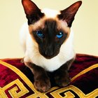 Common Medical Disorders in Siamese Cats