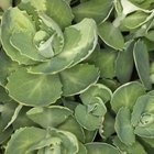 Succulent sedum leaves store nutrients for the plant.