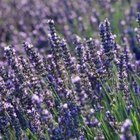 Lavender's fragrance isn't as appealing to animals as it is to people.