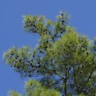 Shortleaf pine trees produce open and pyramidal-shaped crowns.