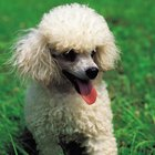 What Causes a Teacup Poodle's Eyes to Tear & Stain Its Fur?