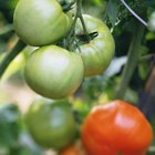 Organic Remedies for Tomato Bugs in a Garden