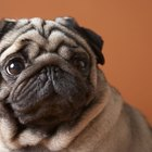 Natural Healing for Sores on a Pug's Face