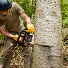A chain saw helps cut down large sweet gum trees.