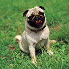 Pugs and Runny Noses